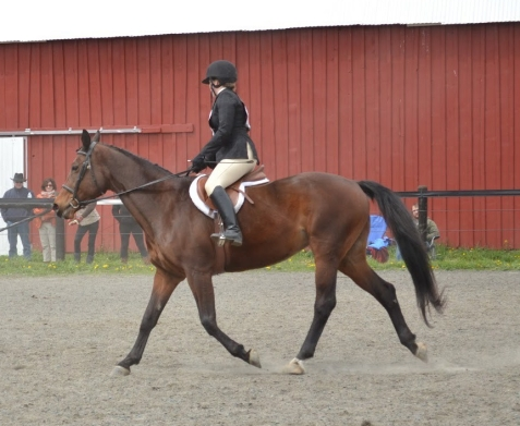 Bay Trakehner mare at a show