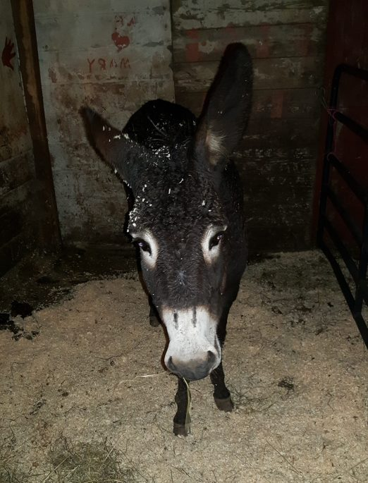 A donkey with shaving in forelock