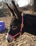A donkey with a pink halter