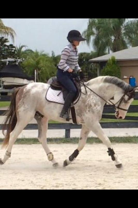 Pinto Warmblood gelding trotting in tack